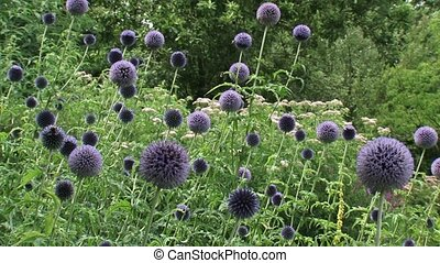 Globe Thistles (echinops ritro) with honeybees flying around - wide shot