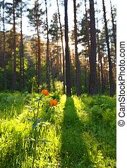 globeflower in siberia forest