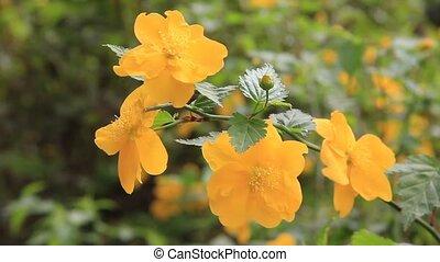 globeflower, japończyk