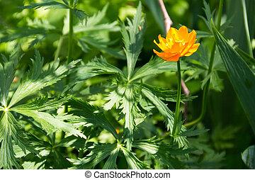 Globeflower (Trollius asiaticus) on flowerbed in garden