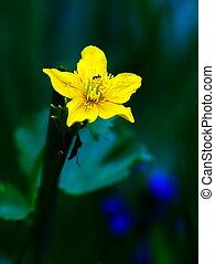 Globeflower, Trollius europaeus, flower plant - Close up on ...