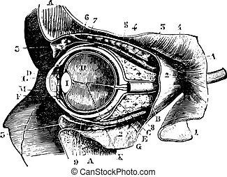globo ocular, vendimia, sección, órbita, perpendicular,...