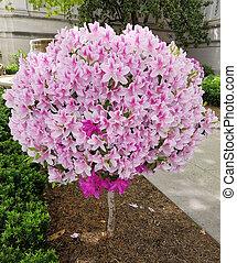 Globular lily flower tree in bloom - Ornamental globular...
