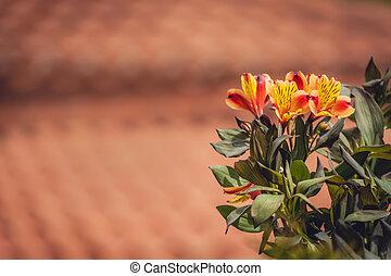 gloire, alstromeria, aussi, fleurs oranges, appelé