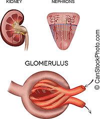 glomerulus, teil, nieren, niere, korpuskel