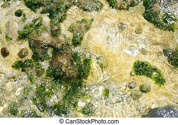 glony, z, śródziemnomorski, zielony, wodorost