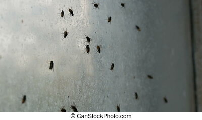 Gloomy congestion of huge number of housefly or Musca...