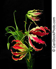 Gloriosa Superba, or Glory Lily are very unusual red flowers...