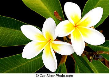 Frangrant frangipani or plumeria flowers, against black background. Beautiful tropical flower, used in leis.