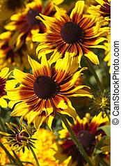 Glorious glow of sunflowers
