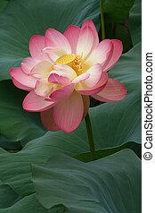 Glorious Lotus