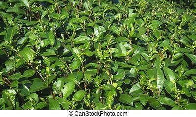 Glossy Green Tea Leaves in Closeup on Thailand Plantation - ...
