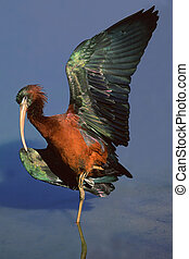Glossy Ibis basking in the sun with outstretched wings,...