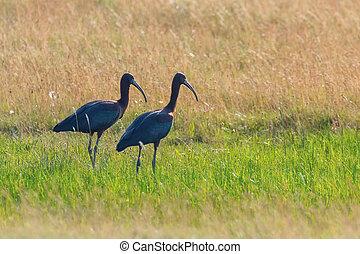 Glossy Ibis (Plegadis falcinellus) Wading Bird in Natural...