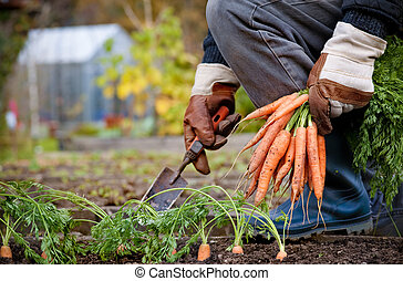 gloved hands picking fresh carrots
