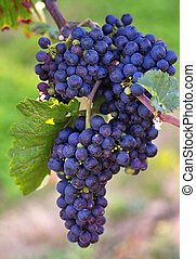 Glowing dark wine grapes