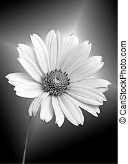 white daisy on black - Glowing white daisy on black gradient...