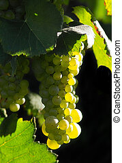 Glowing wine grapes