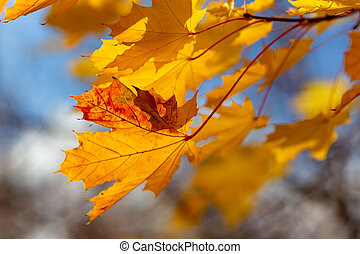 Glowing yellow autumn leaves on blue sky background