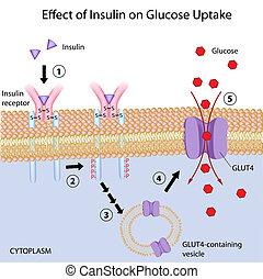 glukos, uptake, verkan, insulin