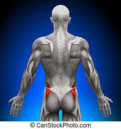 glutes, anatomía, músculos, -, medius