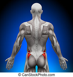 glutes, anatomia, mięśnie, -, medius