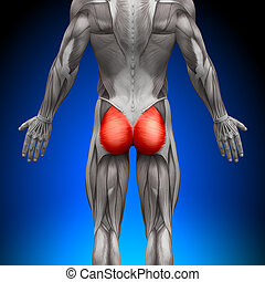 Glutes / Gluteus Maximus - Anatomy Muscles