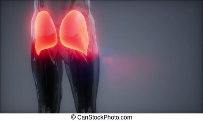 gluteus maximus - leg muscles anatomy animation