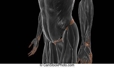 Gluteus medius Muscle Anatomy For Medical Concept 3D Illustration