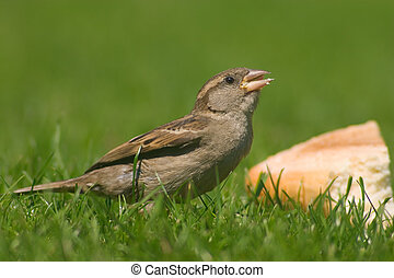 Glutton sparrow