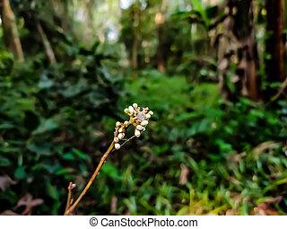 glycosmis, rutaceae, betriebe, zitrusgewächs, gattung, ...