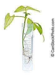 gm, plant, kiemplant, in, laboratoriumglas
