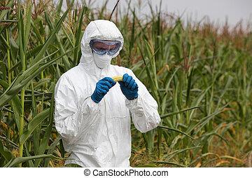 gmo, -, engenheiro, examinando, milho