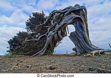 Gnarled Juniper Tree Shaped By The Wind at El Sabinar, Island of El Hierro