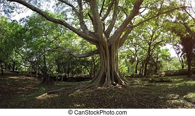 Gnarled, Mature, Tropical Tree with Nature Sounds - Old,...