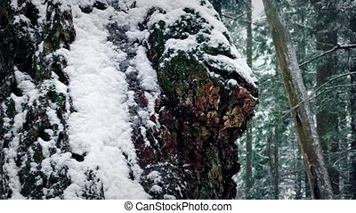 Gnarled Old Tree Trunk In Snowfall - Closeup of rugged old...
