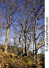 Gnarled Trees - Gnarled trees without any leaves against a ...