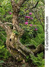 gnarly, árvore, e, rhododendron, arbustos