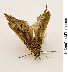 gnarly moth - flying moth captured on a white background