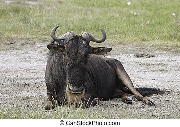 Gnu in the Serengeti