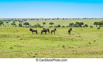 gnus in single line grazing at the meadow