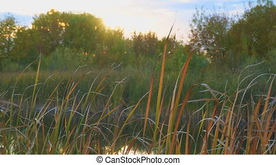 Gnus, mosquitoes or midges fly over the lake and reeds,...