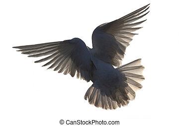 gołębica, w locie