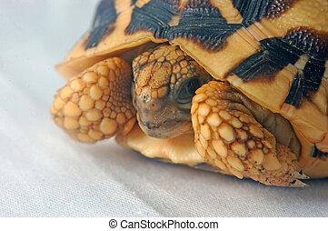 go away - Indian Starred Tortoise, Geochelone elegans, Tamil...