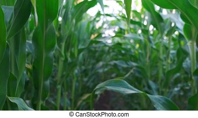 Go through the green corn field. Summer time. Slow motion.