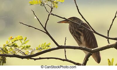 Goa, India. Indian Pond Heron Sitting On Branch In Sunny Morning. Close Up.