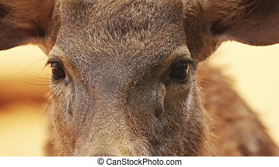 Goa, India. Sambar Or Rusa Unicolor Female. Large Deer ...