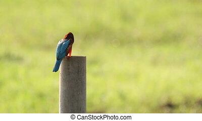 Goa, India. White-throated kingfisher Sitting On Pillar On Blurred Green Background.