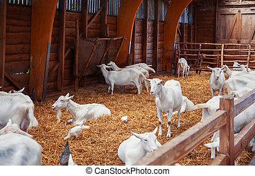 goals in barn - seasonal image of dutch  farm live