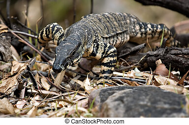 goanna coming to get you